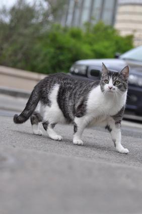 chat castré