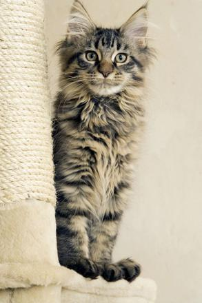 main coon